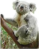 Koala Bear Cardboard Cutout/Standup